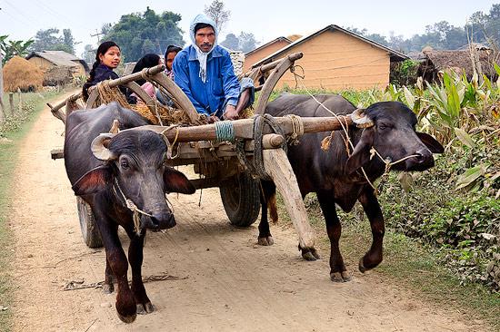 Bullock Cart in Thakurdwara, Nepal