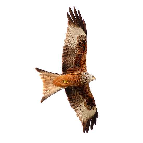 Red kite at Gigrin
